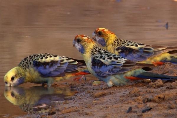 Попугайчики у водоема