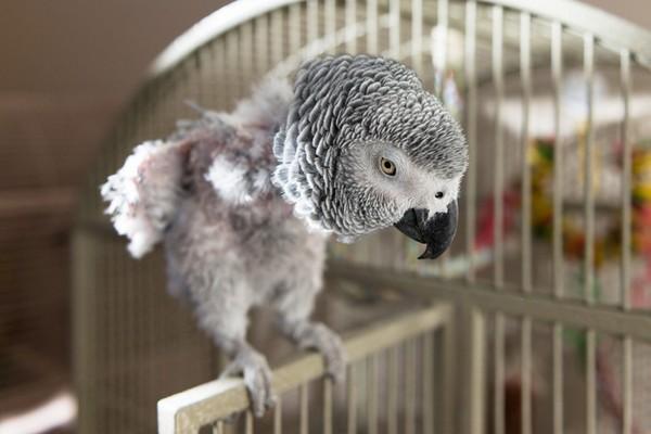 Больной попугайчик