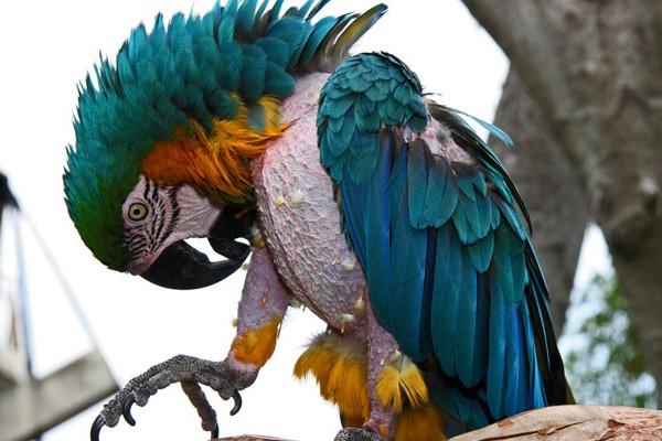Голый попугай