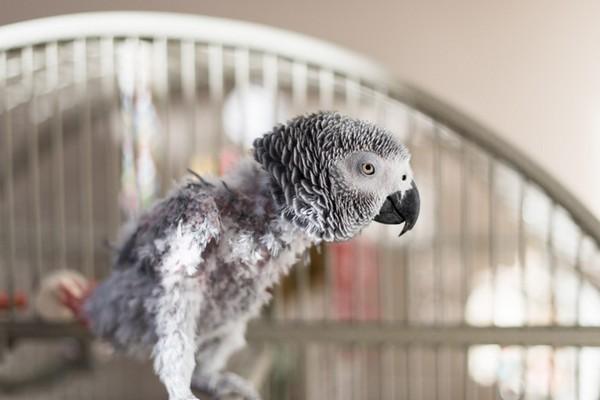 Голый попугайчик
