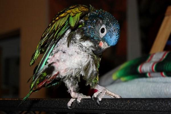 Попугай вычищает перья