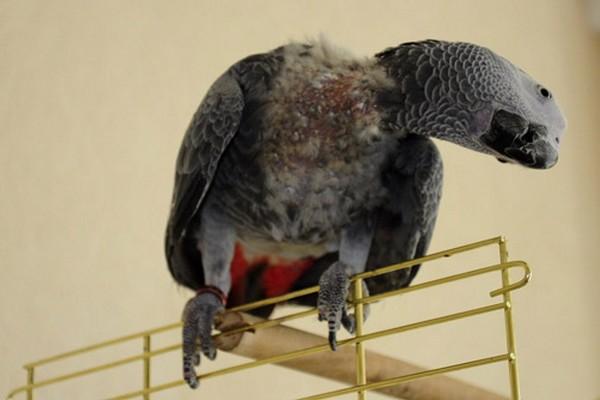 Птица с голой шеей