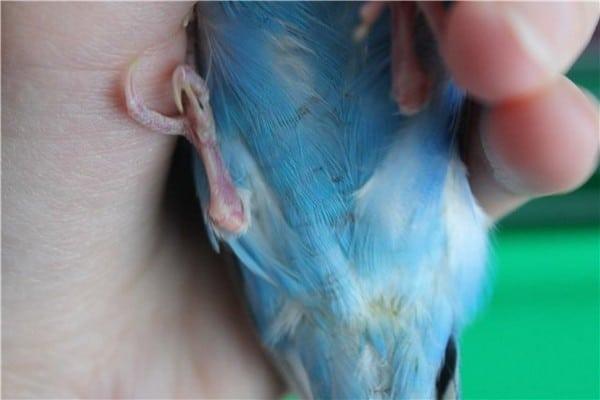 Осмотр попугая