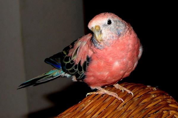 Красный попугайчик