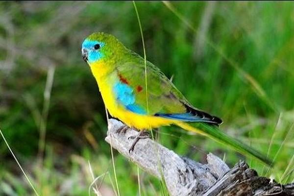 Зеленый попугайчик