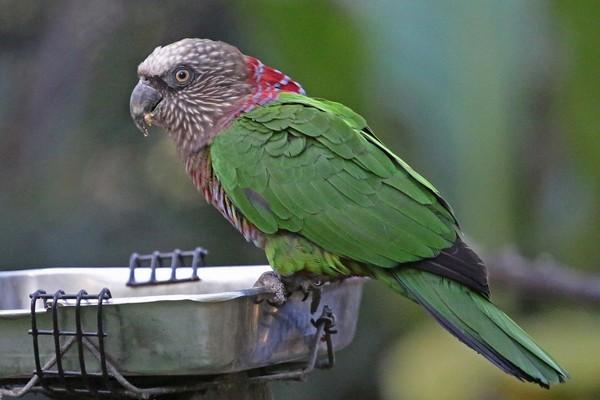 Попугай у поилки
