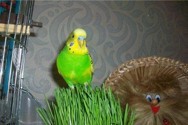 Попугай на фоне травки