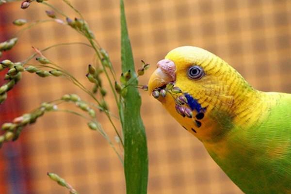 Попугай и зелень