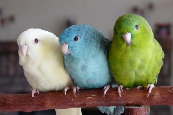 Разноцветные попугаи