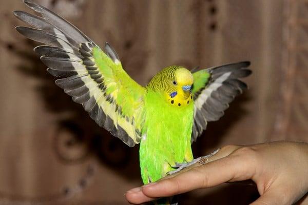 Почему волнистый попугай перестал летать
