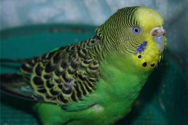 Заболевший попугайчик