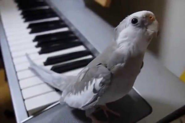 Попугай на пианино