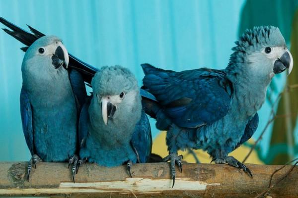 Голубой ара спикса - самый редкий попугай