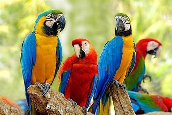 Разновидности ара