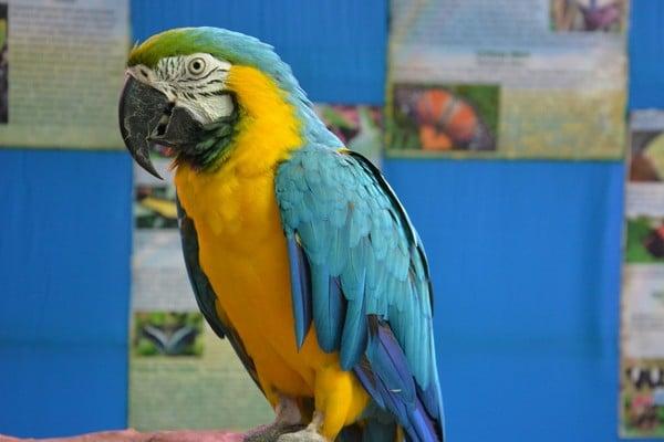 Желто-синий ара