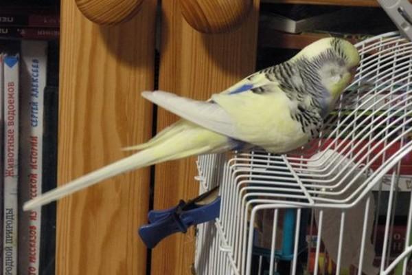 попугайчик уснувший на клетке