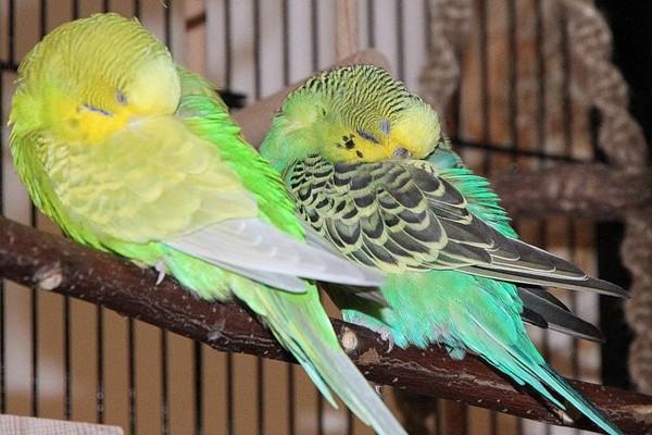 Пара спящих птиц