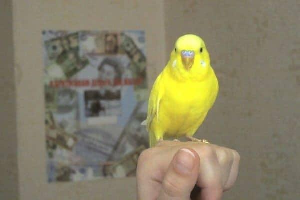 Птица с желтым оперением