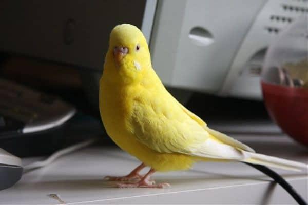 Попугайчик на столе