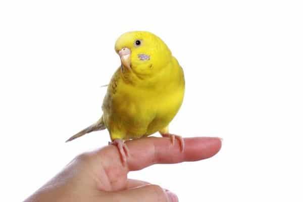 Желтый попугай: лютино имеющий яркую окраску