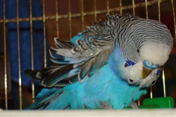 Простуда у птиц