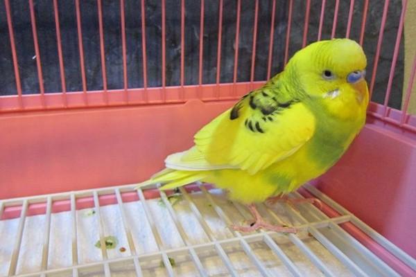 Желтый питомец