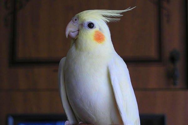Белый корелла