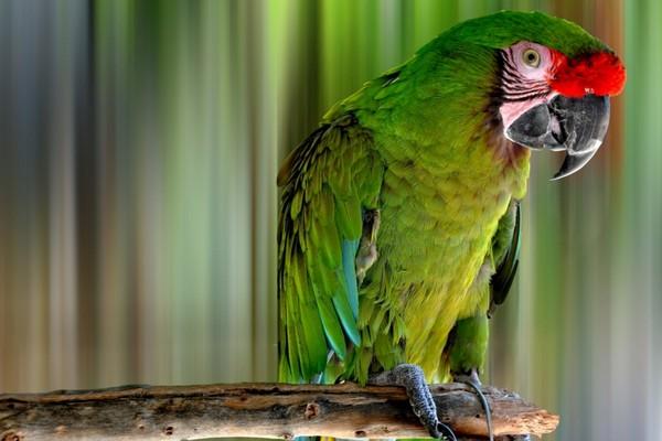 Крупный попугай