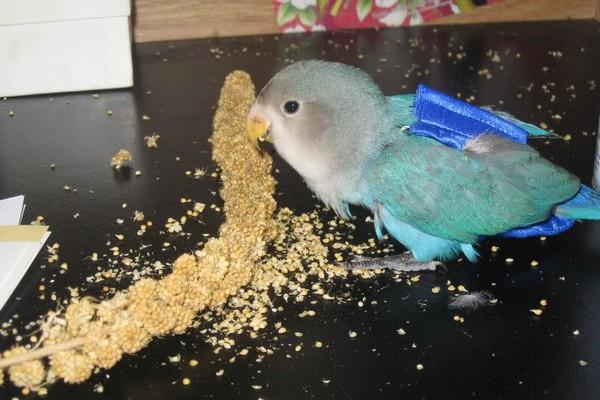 Попугайчик в подгузнике
