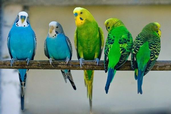 Сидящие в ряд попугаи
