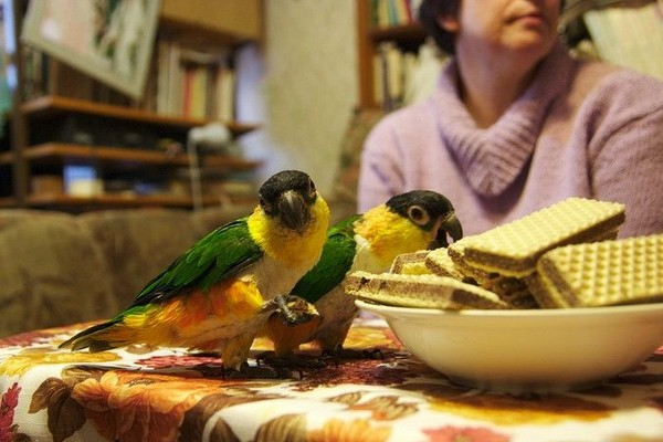 Попугаи и сладости