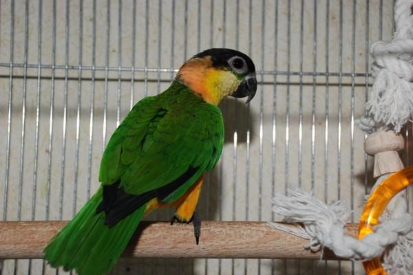 Повернувшийся спиной попугай