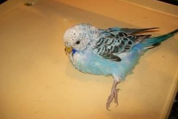 Судорога у попугайчика