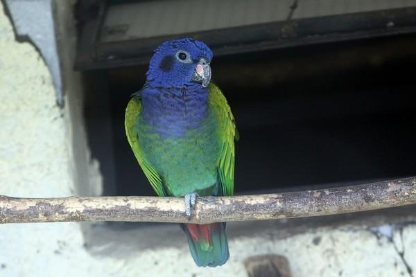 Прирученный попугай