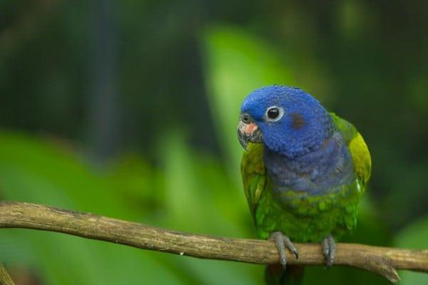Синеголовый попугай